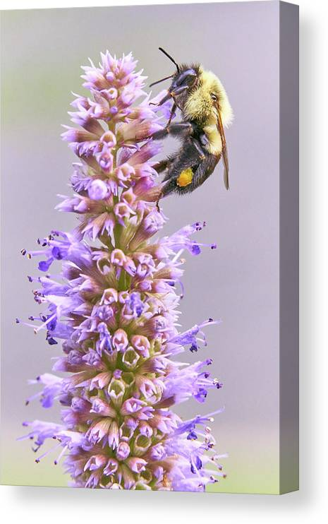 Bumblebee Canvas Print featuring the photograph Bumblebee on Blue Giant Hyssop by Jim Hughes