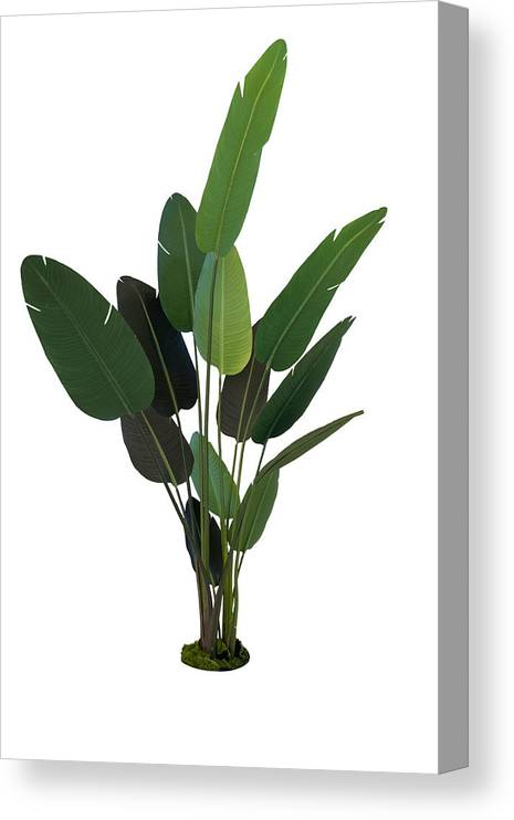 Tropical Tree Canvas Print featuring the photograph Palm Leaves by Liyao Xie
