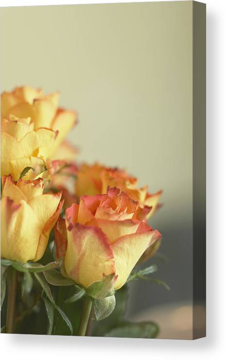 Petal Canvas Print featuring the photograph Roses by Heidi Coppock-Beard