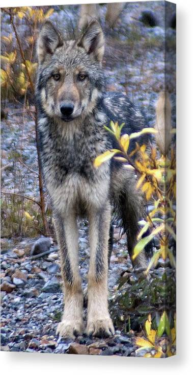 Alaska Canvas Print featuring the photograph Wolf Cub in Denali by Jim and Kim Shivers