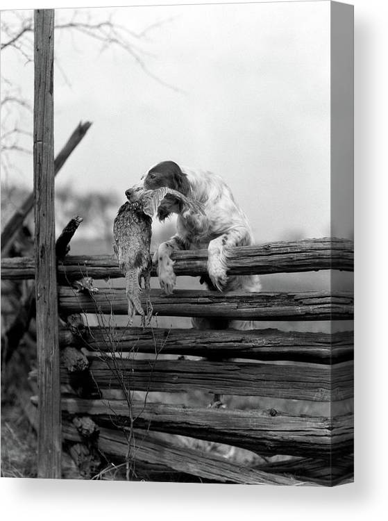 Photography Canvas Print featuring the photograph 1920s English Setter Dog Climbing by Animal Images