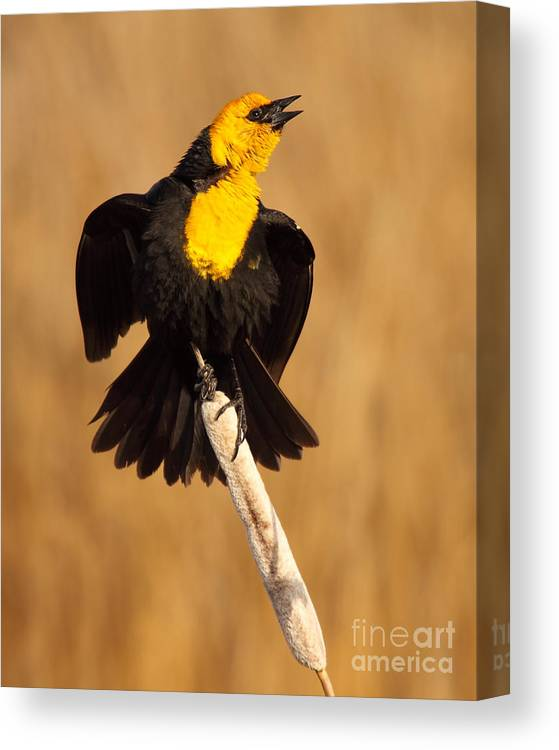 Bird Canvas Print featuring the photograph Blackbird Belting Out Song by Max Allen