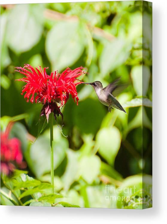 Nature Canvas Print featuring the photograph Hummingbird by Wayne Valler