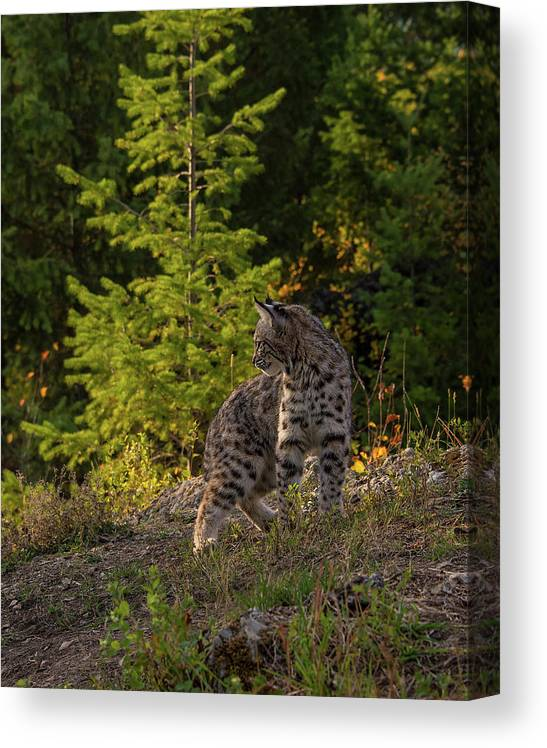 Bobcat Canvas Print featuring the photograph Bobcat kitten in the morning by Roy Nierdieck
