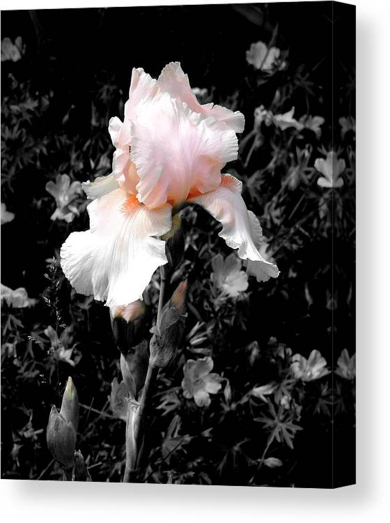 Flower Canvas Print featuring the photograph Iris Emergance by Steve Karol