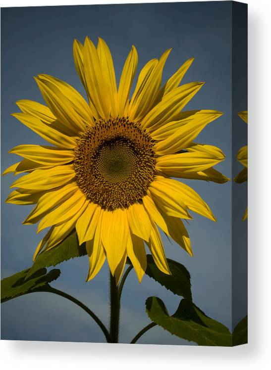 Sunflower Canvas Print featuring the photograph On the rise by Mark Wiley