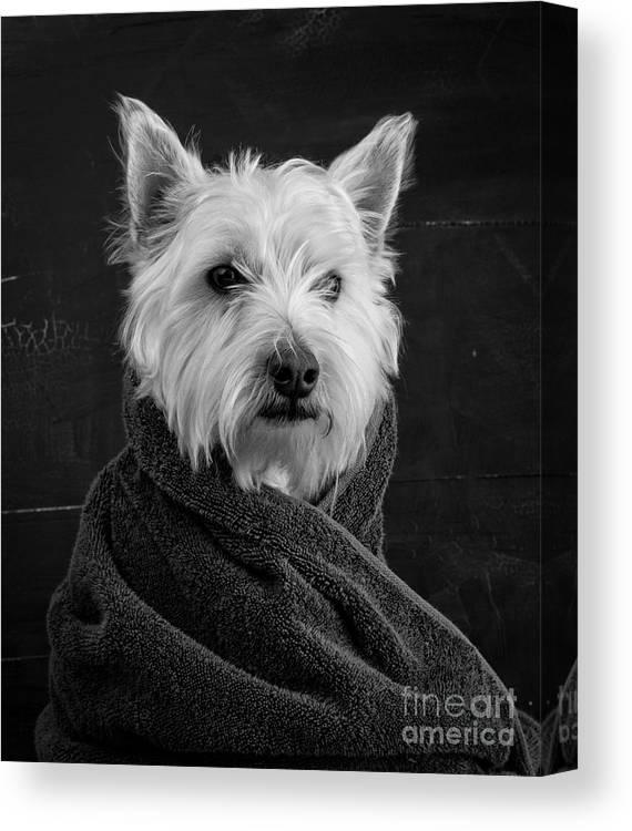 Portrait Of A Westie Dog Canvas Print featuring the photograph Portrait of a Westie Dog by Edward Fielding