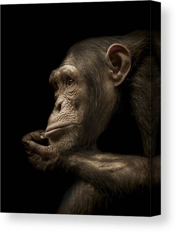 Chimpanzee Canvas Print featuring the photograph Reminisce by Paul Neville