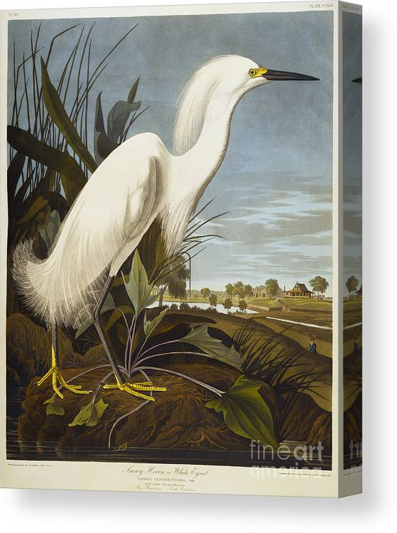 Snowy Heron Or White Egret / Snowy Egret (egretta Thula) Plate Ccxlii From 'the Birds Of America' (aquatint & Engraving With Hand-colouring) By John James Audubon (1785-1851) Canvas Print featuring the drawing Snowy Heron by John James Audubon