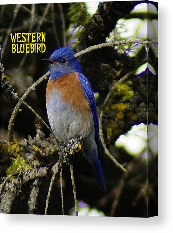 Birds Canvas Print featuring the photograph Western Bluebird by Ben Upham III