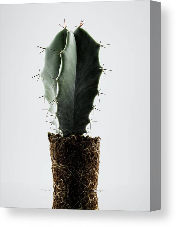 White Background Canvas Print featuring the photograph Cactus On White Background by Chris Stein