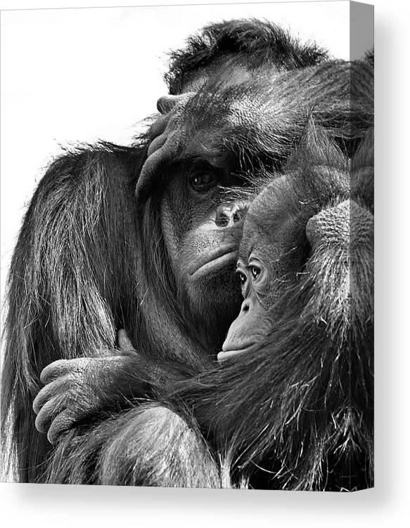 Orangutan With Juvenile Canvas Print Canvas Art By Sean Kaufmann