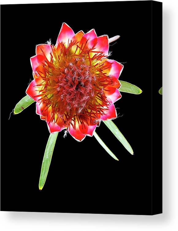 Black Background Canvas Print featuring the photograph Queen Protea Top by Chris Stein