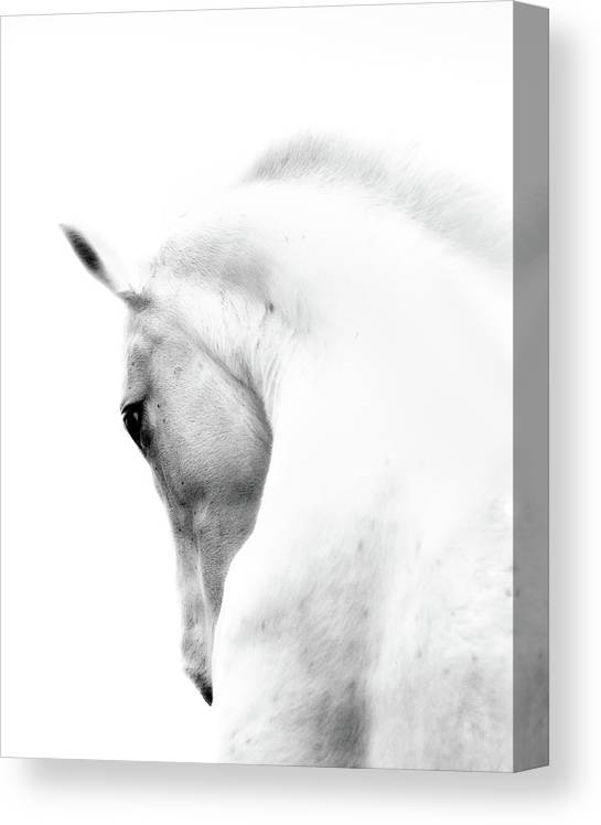Horse Canvas Print featuring the photograph White Stallion Andalusian Horse Neck by 66north