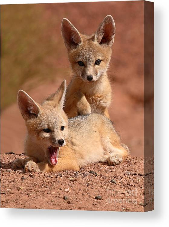 Fox Canvas Print featuring the photograph Kit Fox Twin Pups by Max Allen