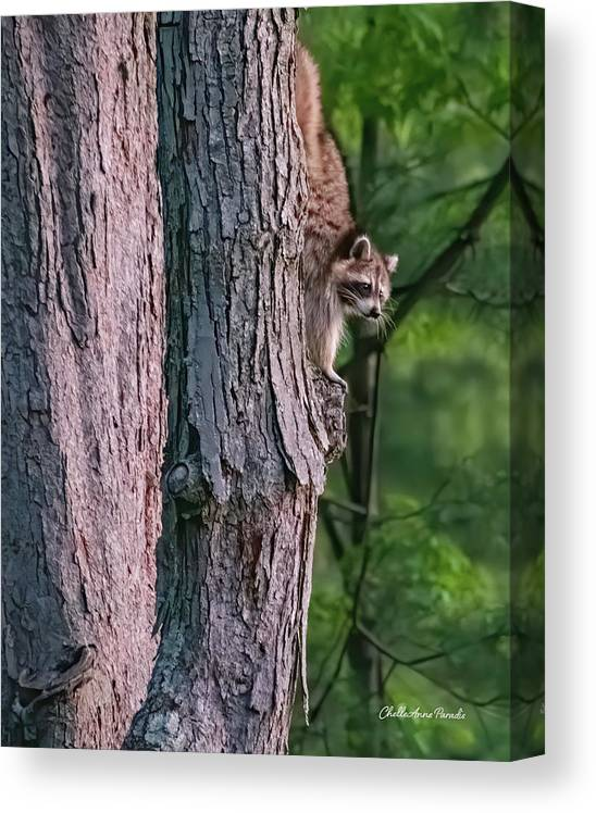 Racoon Canvas Print featuring the photograph Making a late night snack run by ChelleAnne Paradis