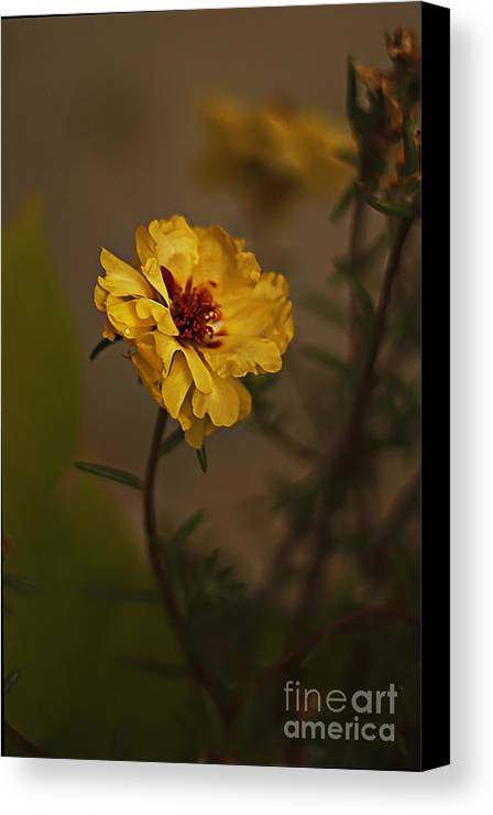 Moss Rose Flower Canvas Print featuring the photograph Moss Rose by Anne Pendred