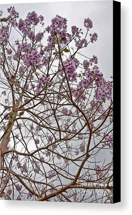 Foxglove Tree Canvas Print featuring the photograph Rare Foxglove Tree - Paulownia Tomentosa by Valerie Garner