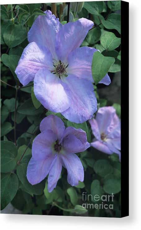 'special Occasion' Canvas Print featuring the photograph Clematis 'special Occasion' Flowers by Adrian Thomas