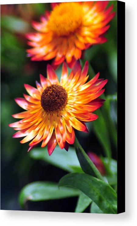 Flower Canvas Print featuring the photograph Bloomin' Loverly by J DeVereS