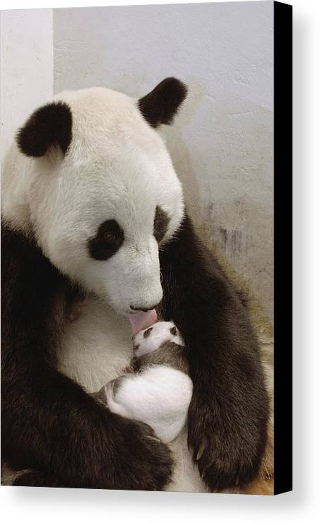Mp Canvas Print featuring the photograph Giant Panda Ailuropoda Melanoleuca Xi by Katherine Feng