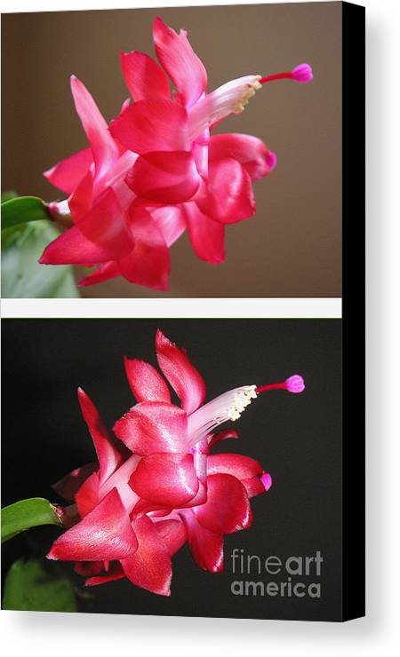 Nature Canvas Print featuring the photograph Holiday Cactus - Day And Night by Lucyna A M Green