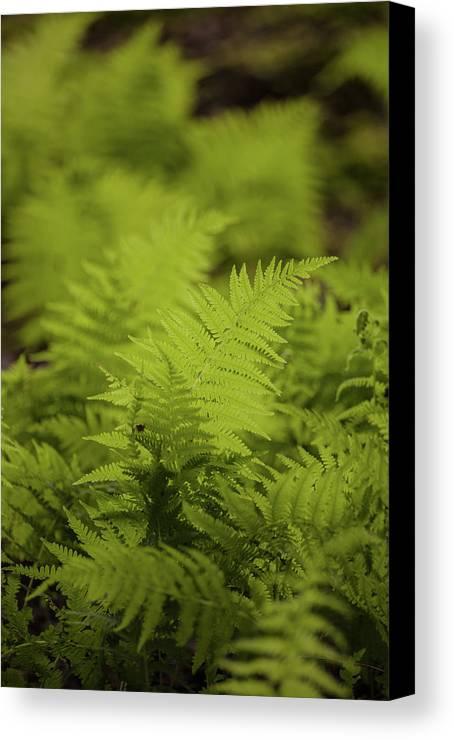 Ferns Canvas Print featuring the photograph Singular by Irwin Barrett