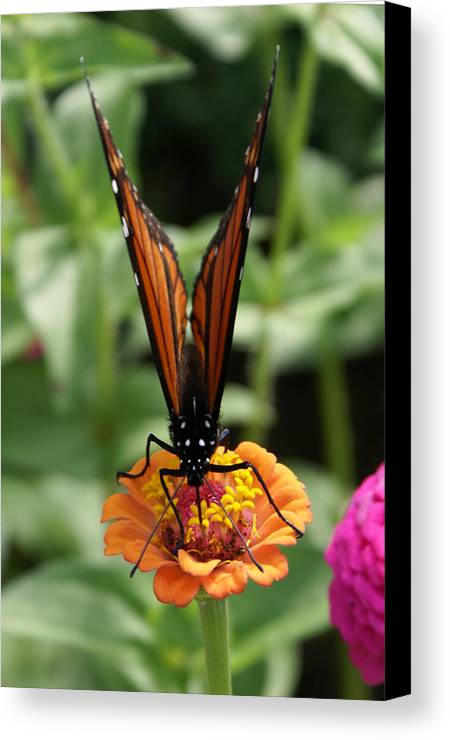 Butterflies Canvas Print featuring the painting Sip Sip Away by Debbie May