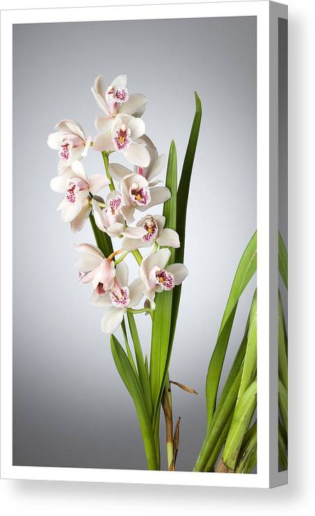 White Orchids On A Black Background Canvas Print featuring the photograph Orchids 4 by Mauro Celotti