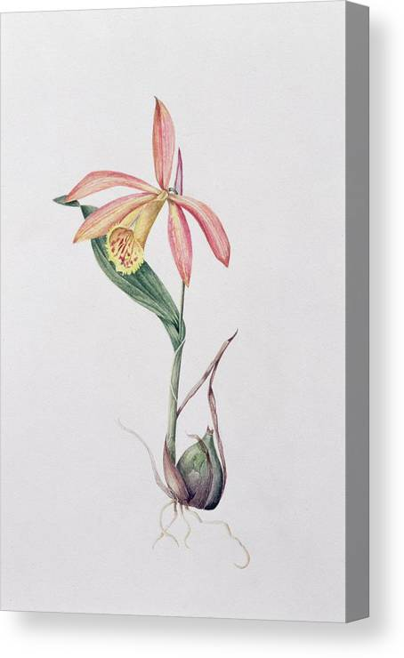 Orchid Canvas Print featuring the painting Pleione Zeus Wildstein by Mary Kenyon-Slaney
