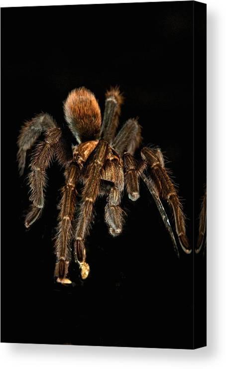 Tarantula Canvas Print featuring the photograph Tarantula Love by Berta Keeney