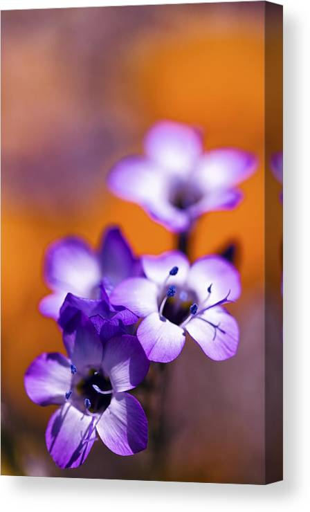 Spring Canvas Print featuring the photograph Wild Purple Flowers by Janice Sullivan