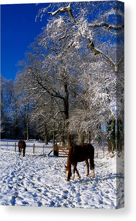 Agriculture Canvas Print featuring the photograph Thoroughbred Horses, Mares In Snow by The Irish Image Collection