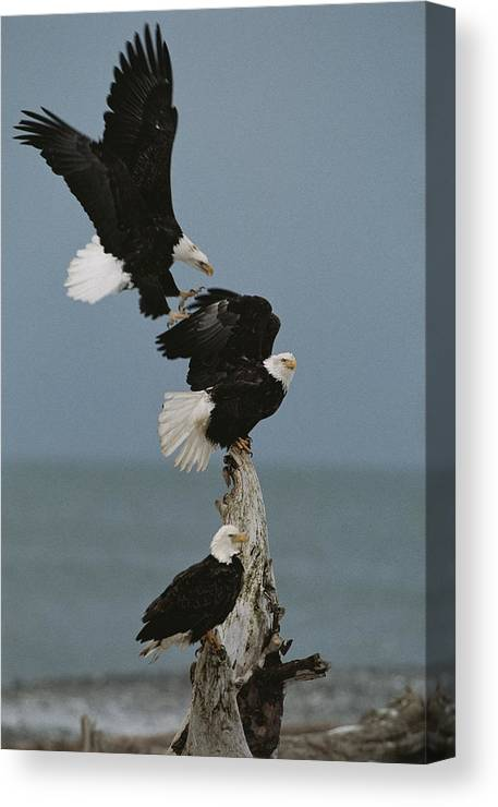 Animals Canvas Print featuring the photograph Fighting For A Space, A Northern by Norbert Rosing