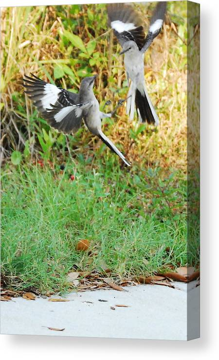 Bird Canvas Print featuring the photograph Mockingbird Fight Club by Beth Gates-Sully