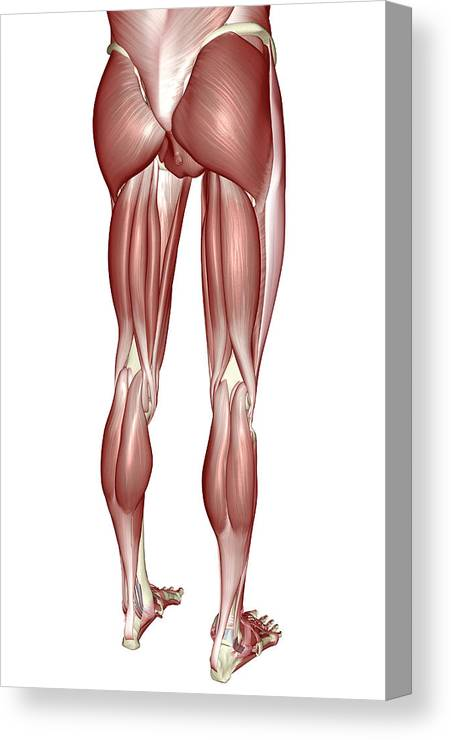 The Muscles Of The Lower Body Canvas Print Canvas Art By Medicalrf