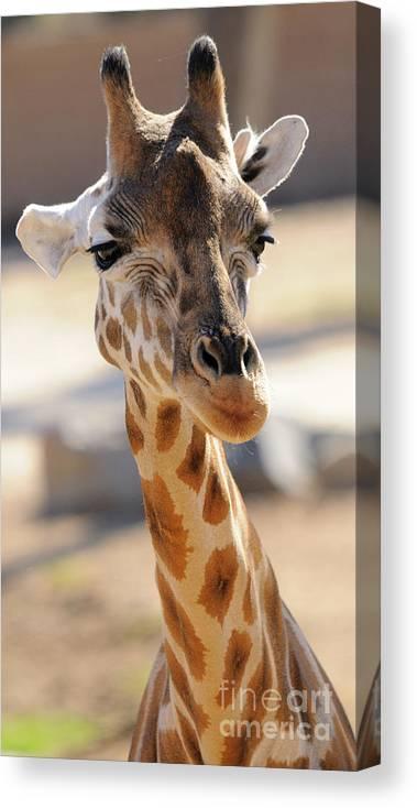 Giraffe Canvas Print featuring the photograph Giraffe by Marc Bittan