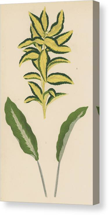 Euonymus Japonica Aurea Variegata Canvas Print featuring the painting Euonymus Japonica Aurea Variegata, Maranta Micans by English School