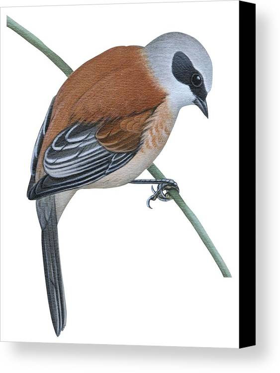 No People; Vertical; Side View; Full Length; One Person; One Animal; Animal Themes; Nature; Wildlife; Beauty In Nature; Simplicity; Uline Tit; Remiz Pendulinus; Twig; Perching Canvas Print featuring the drawing Penduline Tit by Anonymous