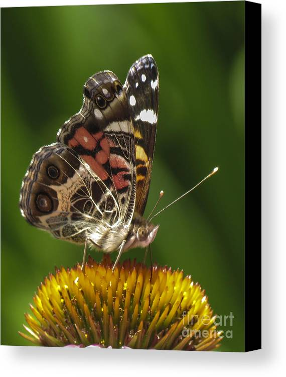 Echinacea Canvas Print featuring the photograph Echinacea Butterfly Meal by Darleen Stry
