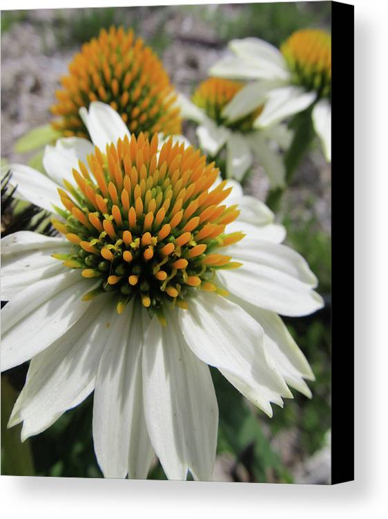 Flowers Canvas Print featuring the photograph Coneflower by Michele Caporaso