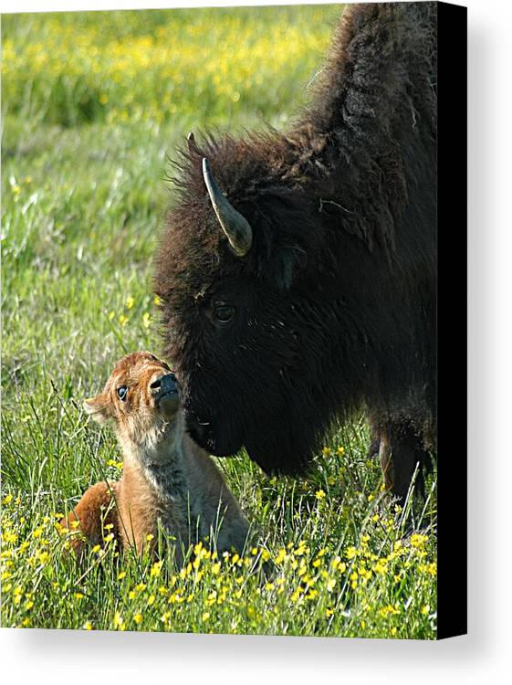 Buffalo Canvas Print featuring the photograph Baby Buffalo And Mother by Bob Guthridge