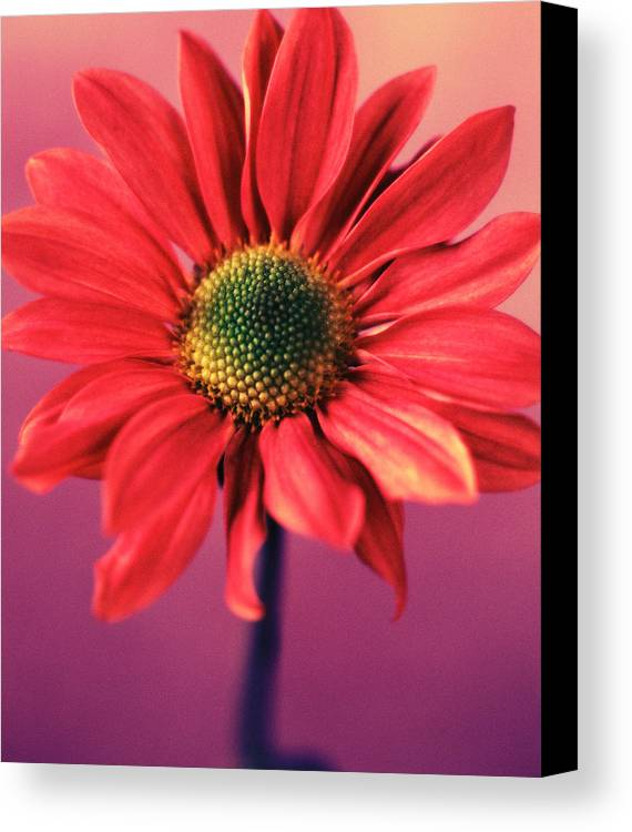 Flora Canvas Print featuring the photograph Daisy 1 by Joseph Gerges
