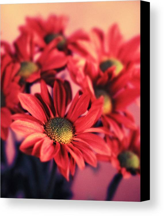 Flora Canvas Print featuring the photograph Daisy 3 by Joseph Gerges