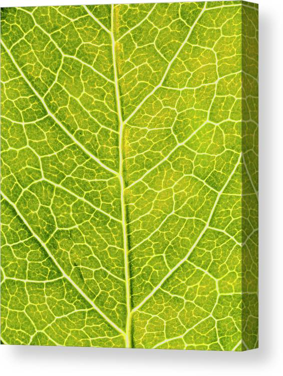 Parthenocissus Sp. Canvas Print featuring the photograph Virginia Creeper Leaf by Sinclair Stammers/science Photo Library