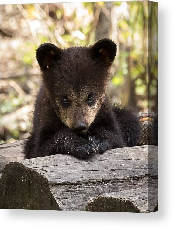 Nature Canvas Print featuring the photograph Cub by Mary Jo Cox