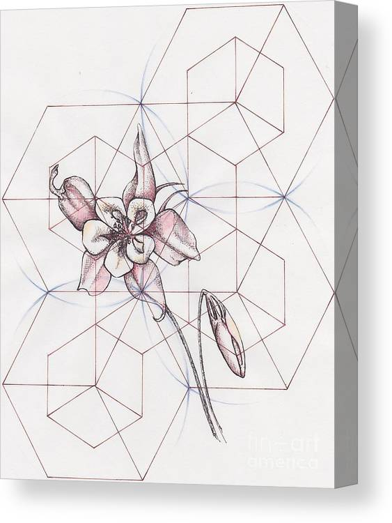 Botanical Canvas Print featuring the drawing Columbine Flower by Kate Golding