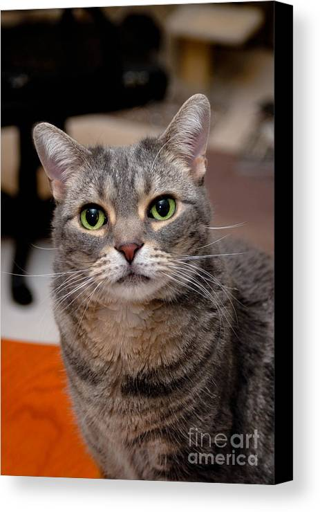 Alert Canvas Print featuring the photograph American Shorthair Cat Portrait by Amy Cicconi