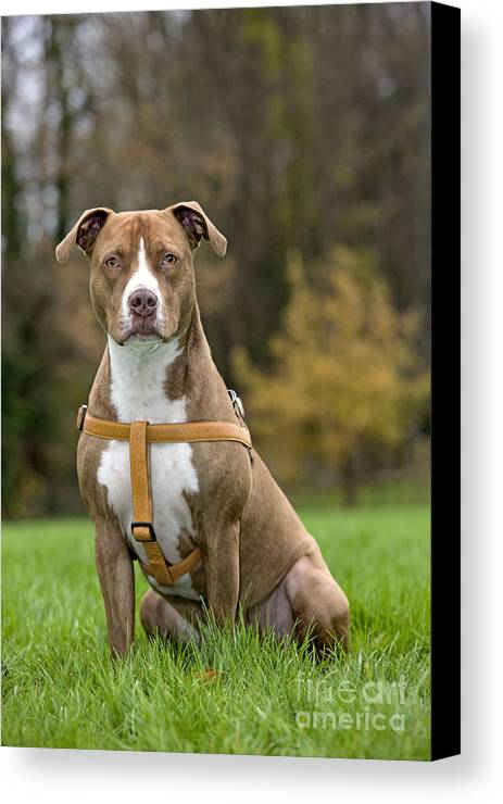 American Staffordshire Terrier Canvas Print featuring the photograph American Staffordshire Terrier by Johan De Meester