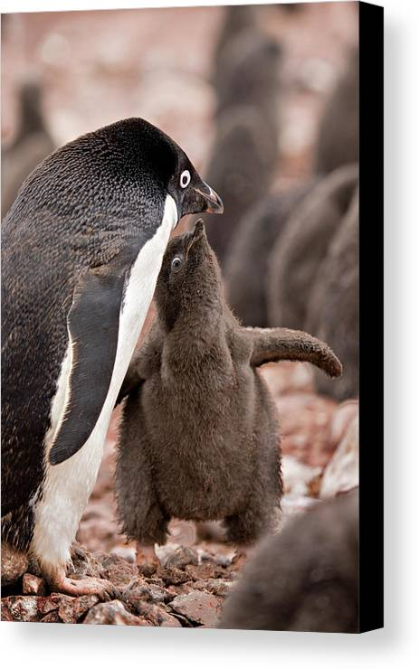 Adelie Canvas Print featuring the photograph Antarctica, South Shetland Islands by Jaynes Gallery